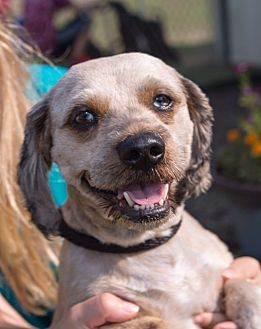 Shih Tzu/Dachshund Mix Dog for adoption in Boonsboro, Maryland - Woody