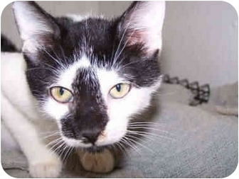 Domestic Shorthair Kitten for adoption in Ft. Pierce, Florida - Smudge