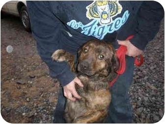 Labrador Retriever Mix Dog for adoption in Hedgesville, West Virginia - Scarlett
