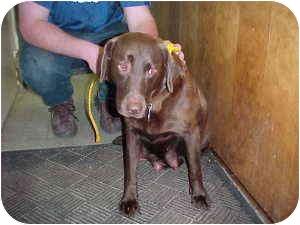 Labrador Retriever Dog for adoption in Gladwin, Michigan - Maggie