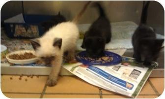 Domestic Mediumhair Kitten for adoption in Coos Bay, Oregon - 4 Little Kittens
