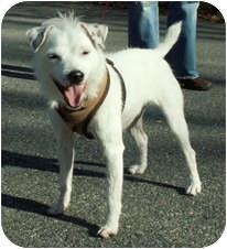 Jack Russell Terrier Dog for adoption in Milton, Massachusetts - Monkey