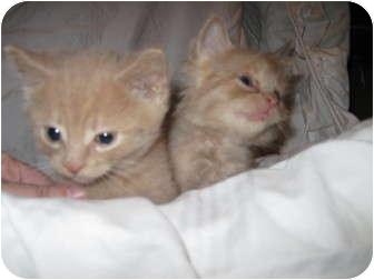 Domestic Shorthair Kitten for adoption in Worcester, Massachusetts - (Ambers litter) Rum Tum Tugger