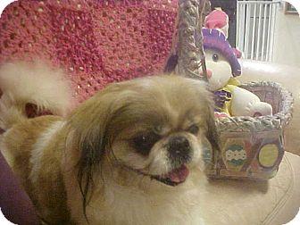 Pekingese Dog for adoption in Cathedral City, California - FLOYD