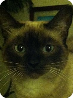 Siamese Cat for adoption in Fountain Hills, Arizona - MULAN