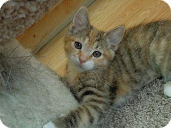 Domestic Shorthair Kitten for adoption in Las Vegas, Nevada - Ikaria