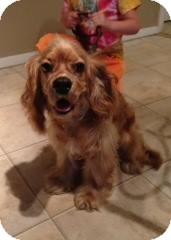 Cocker Spaniel Mix Puppy for adoption in Kimberton, Pennsylvania - Indy
