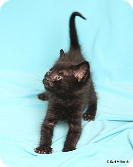 Domestic Shorthair Kitten for adoption in Las Vegas, Nevada - Inkey