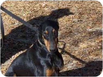 Doberman Pinscher Dog for adoption in Green Cove Springs, Florida - Tallahassee Cara