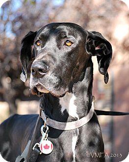Great Dane Dog for adoption in Albuquerque, New Mexico - Frankenstein