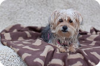 Yorkie, Yorkshire Terrier/Poodle (Toy or Tea Cup) Mix Dog for adoption in Auburn, California - Mia