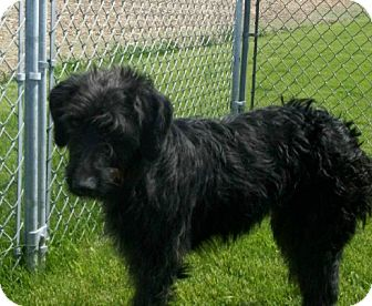 Goldendoodle Dog for adoption in Liberty Center, Ohio - Shylee
