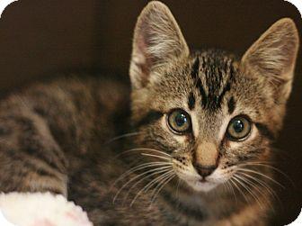 Domestic Shorthair Kitten for adoption in Canoga Park, California - Petro