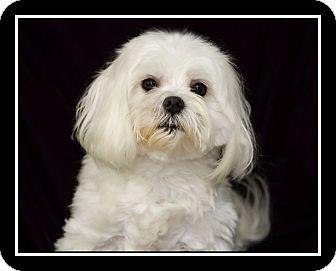 Maltese Dog for adoption in San Diego, California - Max