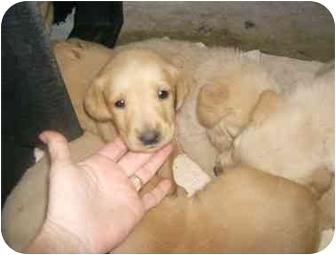 Golden Retriever/Labrador Retriever Mix Puppy for adoption in Cairo, Georgia - Golden/lab pups