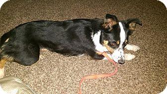 Border Collie/Shepherd (Unknown Type) Mix Dog for adoption in Ogden, Utah - Skipper