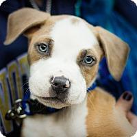 Adopt A Pet :: Ace - Reisterstown, MD