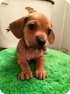 Beagle/Spaniel (Unknown Type) Mix Puppy for adoption in Palmetto Bay, Florida - KC