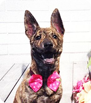 Labrador Retriever Mix Puppy for adoption in Castro Valley, California - Leia