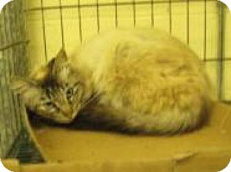 Domestic Mediumhair Cat for adoption in Stillwater, Oklahoma - Yoki