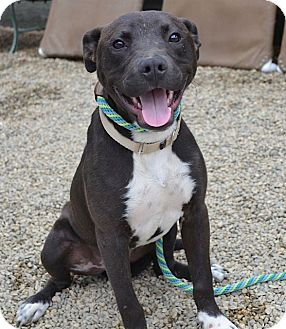 Pit Bull Terrier/Staffordshire Bull Terrier Mix Dog for adoption in Los Angeles, California - Artie Chew