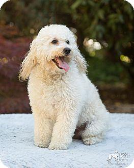 Poodle (Miniature) Dog for adoption in Salem, Oregon - Andy