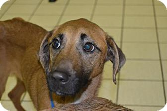 Hound (Unknown Type) Mix Dog for adoption in Jersey City, New Jersey - Sheryl Crow
