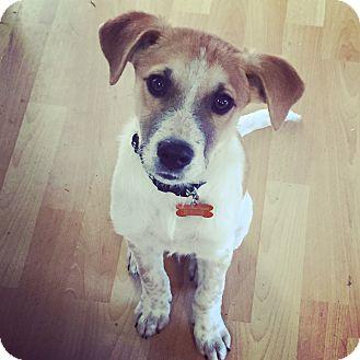 Labrador Retriever/Beagle Mix Puppy for adoption in Brattleboro, Vermont - Beaux