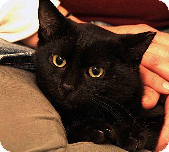 Domestic Shorthair Cat for adoption in St. Louis, Missouri - Glinka