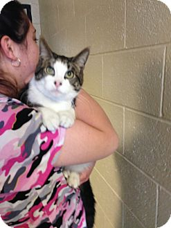 Domestic Shorthair Cat for adoption in Mine Hill, New Jersey - Loki