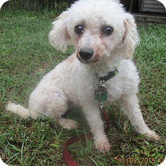 Bichon Frise Dog for adoption in Jacksonville, Florida - Princess