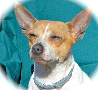 Chihuahua Dog for adoption in Blanchard, Oklahoma - Nixon