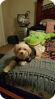Maltese/Poodle (Miniature) Mix Dog for adoption in New Baltimore, Michigan - Ceasar