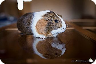 Guinea Pig for adoption in Manhattan, Kansas - Nutmeg