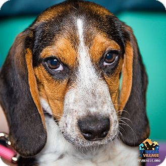 Beagle Mix Puppy for adoption in Evansville, Indiana - Mary Ann