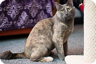Domestic Shorthair Cat for adoption in San Diego, California - Eudora (sweet & gentle)