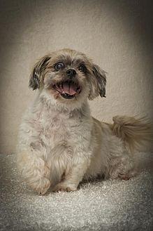 Shih Tzu Dog for adoption in Davie, Florida - Gizmo  Denzel