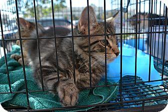 Domestic Mediumhair Kitten for adoption in Ogden, Utah - Fish