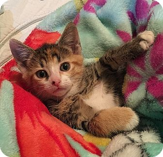 Domestic Shorthair Kitten for adoption in Tampa, Florida - Calypso