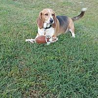 Beagle/Basset Hound Mix Dog for adoption in Coats, North Carolina - Jeter
