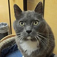Domestic Shorthair Cat for adoption in Spokane Valley, Washington - Bogart