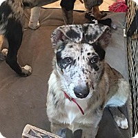Adopt A Pet :: Chloe - Studio City, CA