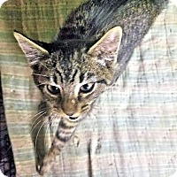 Domestic Shorthair Kitten for adoption in Norristown, Pennsylvania - Woody