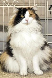 Domestic Longhair/Domestic Shorthair Mix Cat for adoption in Cashiers, North Carolina - Angelica