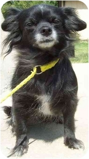Chihuahua Mix Dog for adoption in North Judson, Indiana - Katie
