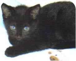 Domestic Shorthair Kitten for adoption in Lake Charles, Louisiana - Austin