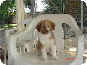 Australian Shepherd/Collie Mix Puppy for adoption in Baton Rouge, Louisiana - Brooke