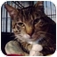 Photo 1 - Domestic Shorthair Cat for adoption in Brooklyn, New York - Mango