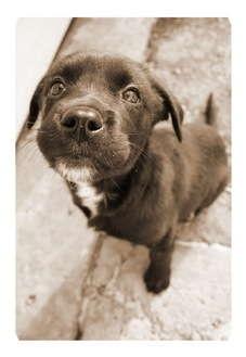 Labrador Retriever Mix Puppy for adoption in Okotoks, Alberta - Baby Girl
