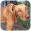 Photo 1 - Vizsla Dog for adoption in Marseilles, Illinois - Fritz